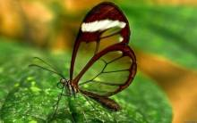 Butterfly with transparent wings - Full HD Wallpaper