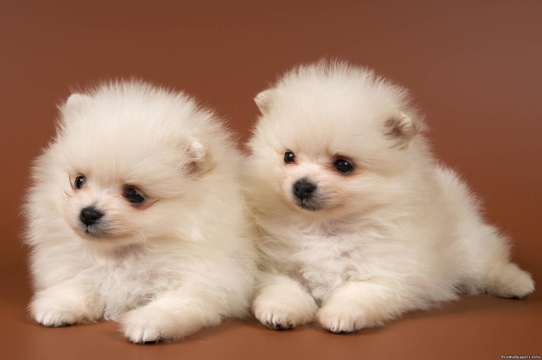 Cute Puppies With White Feather